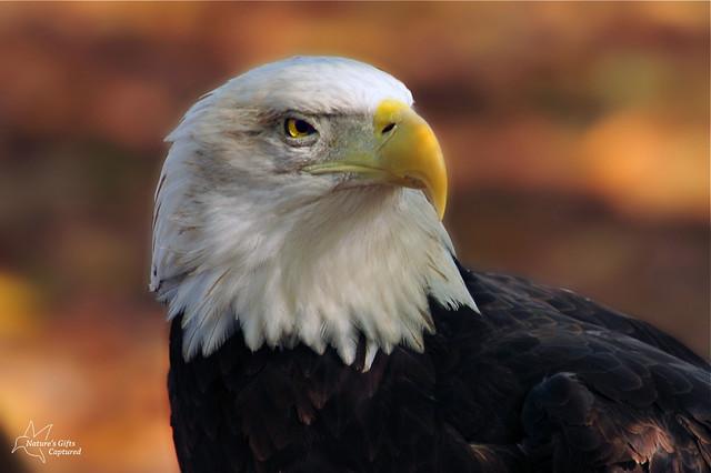 Bald Eagle Up Close & Personal
