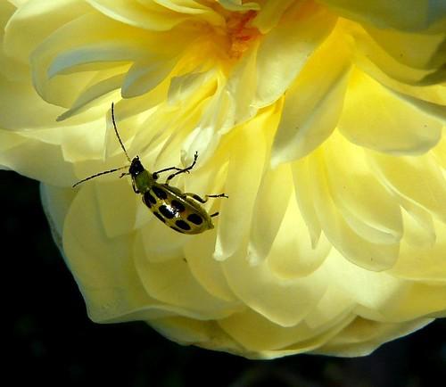 diabroticaundecimpunctata spottedcucumberbeetle fantasticflower colorphotoaward fz18