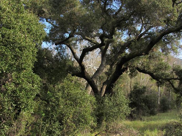 oak light