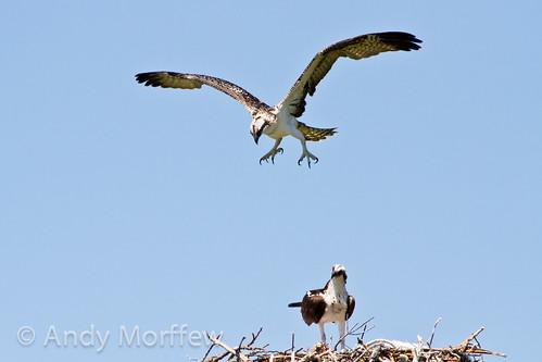 flying nest florida osprey marcoisland fledging tigertailbeach andymorffew morffew
