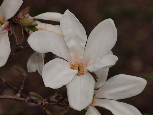Kobus Magnolia | by Graeme Simpson Images
