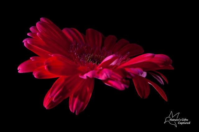Floating Pink Petals LP