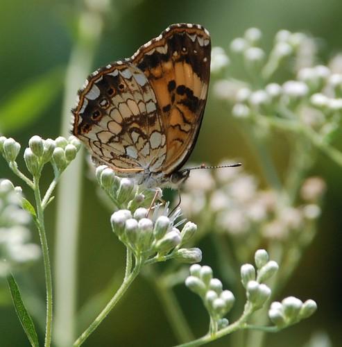 summer butterfly insect niceshot tn ngc mariposa smokies farfalle inthewild silverycheckerspot musictomyeyeslevel1 allofnatureswildlifelevel1 jennypansing