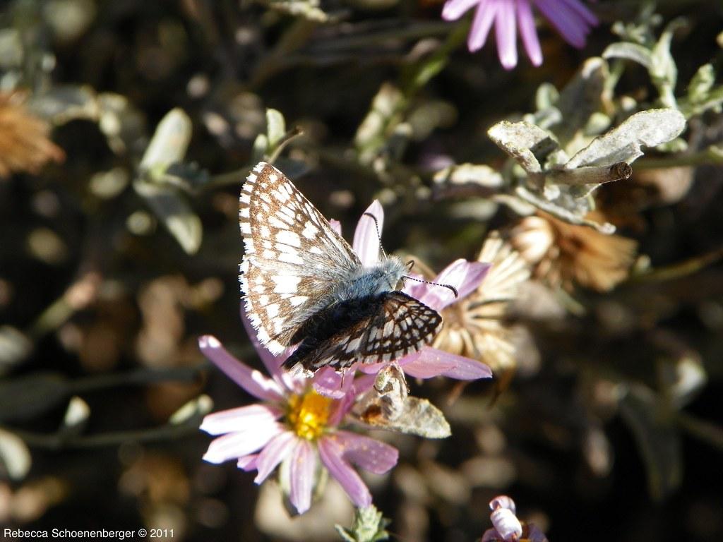 Checkered skipper on lessingia 11 1 11 native bed - Master gardeners santa clara county ...