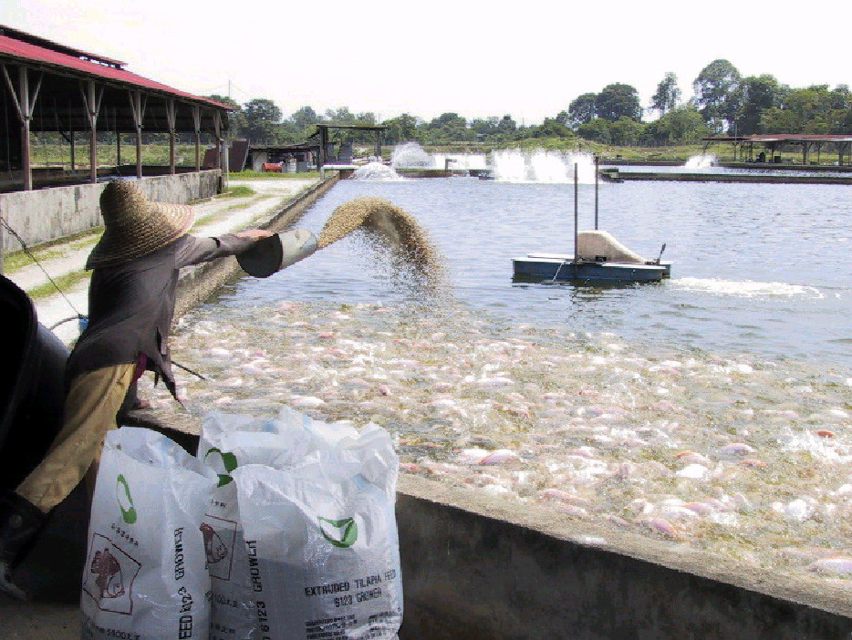 Intensive tilapia farming, Malaysia. Photo by J. Thodesen, 2002