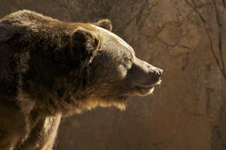 A grizzly profile   by ucumari photography
