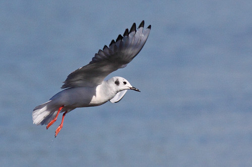 Bonaparte's gull  ( adult, basic plumage) | by Keith Carlson