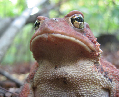 Very serious American Toad in the red phase