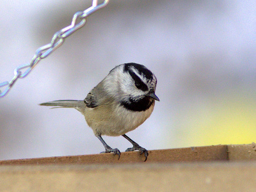 Mountain Chickadee 2-20111112 | by Kenneth Cole Schneider