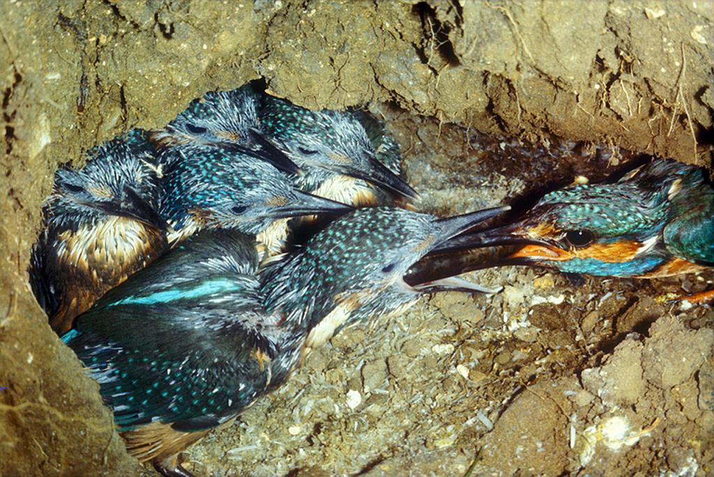 """Résultat de recherche d'images pour """"kingfisher nest"""""""