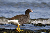 Female Kelp Goose (Chloephaga hybrida) by Frank Shufelt