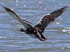 Spur-winged Goose, Liwonde (Malawi), 26-May-11 by Dave Appleton