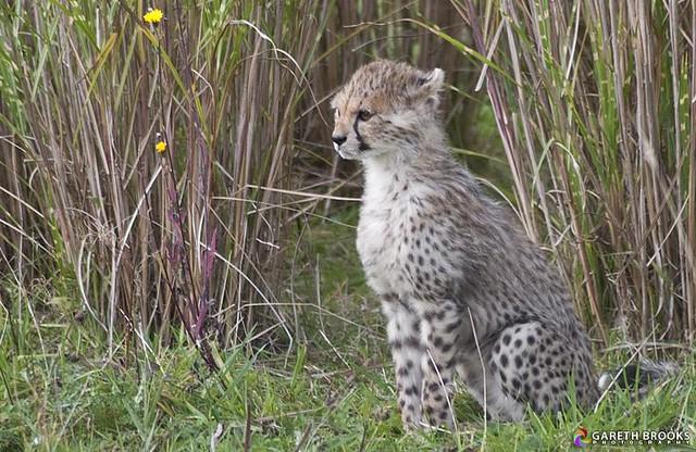 Cheetah Cub 22/11/2011