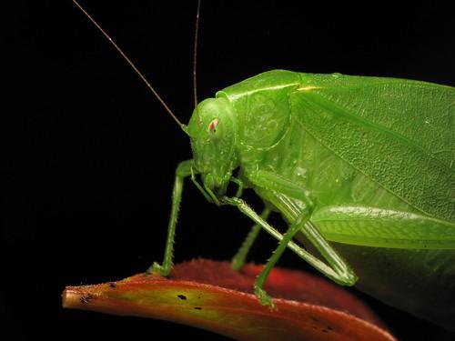 Mine foot is tasty (omnomnom) - a green Katydid | by TGIQ