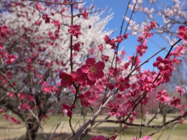 <p>紅梅、きれいな5枚の花びら。赤と黄色がきれいです!</p>
