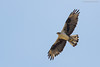 Bonelli's Eagle in flight by Rudy_Whistlingtrails