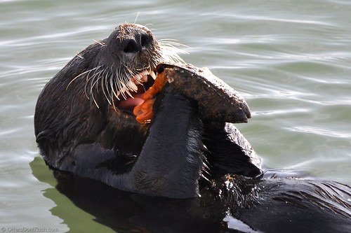 Hungry Sea Otter Eating Meat In The Zoo Stock Photo ... |Sea Otters Eating Bears