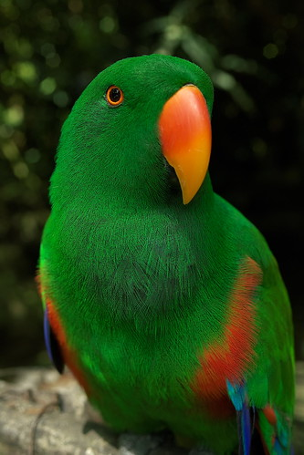 Eclectus roratus parrot (Edelpapagei) | by Max Grabert