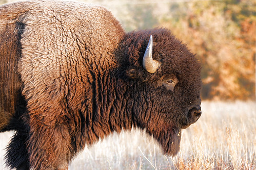 American Bison | by Larry Smith2010