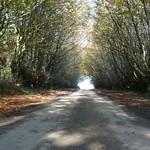 Ancient Beech hedged lane