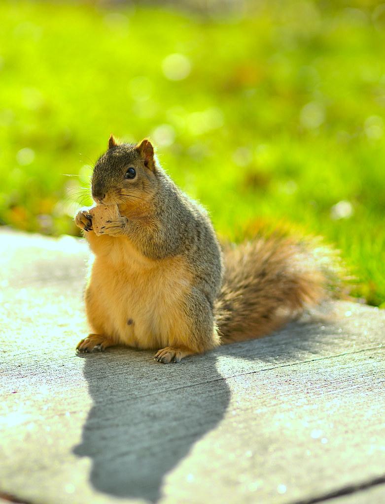Weekend Squirrel   Weekend photo shoot : _DSC4970_WeekEnd_11…   Sudip Misra    Flickr