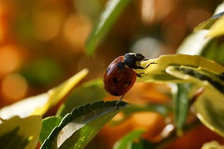 Ladybird | by p_a_h