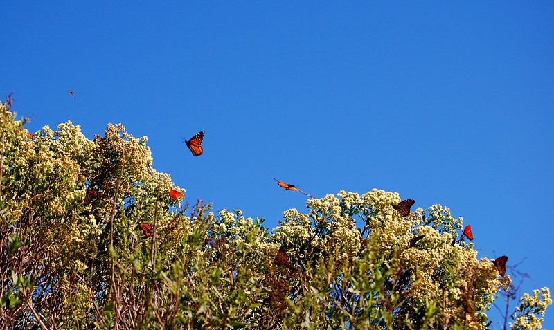 monarch buterflies preparing for migration in st marks