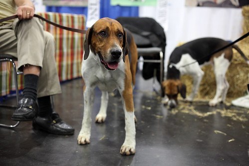 English Foxhound | by ccho