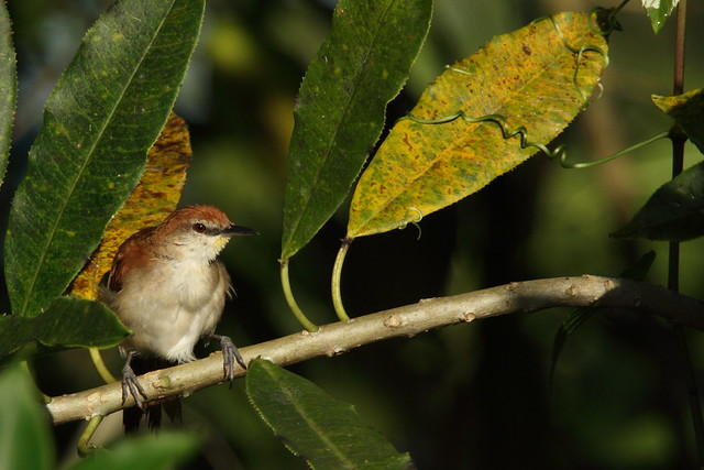 yellow chinned spinetail
