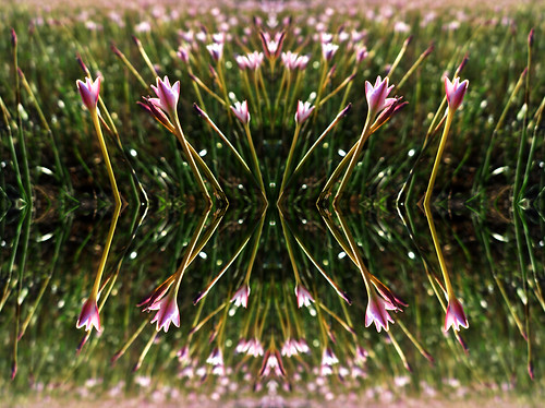 pink flowers wild white flower green beautiful whiteflower interesting creative kaleidoscope pinkflower bloom flowering dreamy blooms trippy psychedelic tessellation pinkish pinks kaleidoscopic yellowgreen pinkflowers darkgreen whiteflowers tessellated bloomed fantastical whitish oneirc tessellate pinkishflowers