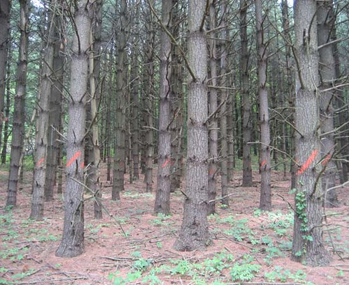 Planted white pine stand marked-to-cut prior to harvest.