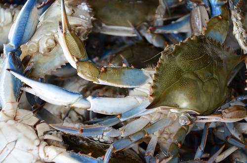 Photo of blue crabs in a basket