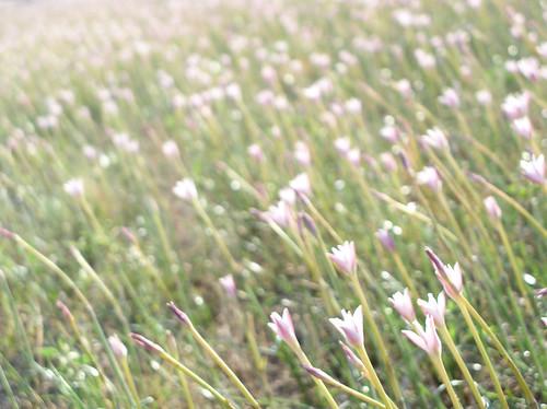 pink flowers light white flower field whiteflower stem soft afternoon dof meadow depthoffield pinkflower stems bloom flowering blooms depth pinkish pinks softlight pinklight blooming afternoonlight pinkflowers whiteflowers flowered rainlily pinkhue whitish fieldofflowers pinkhues pinkcolor rainlilies pinkishflowers pinkcolors