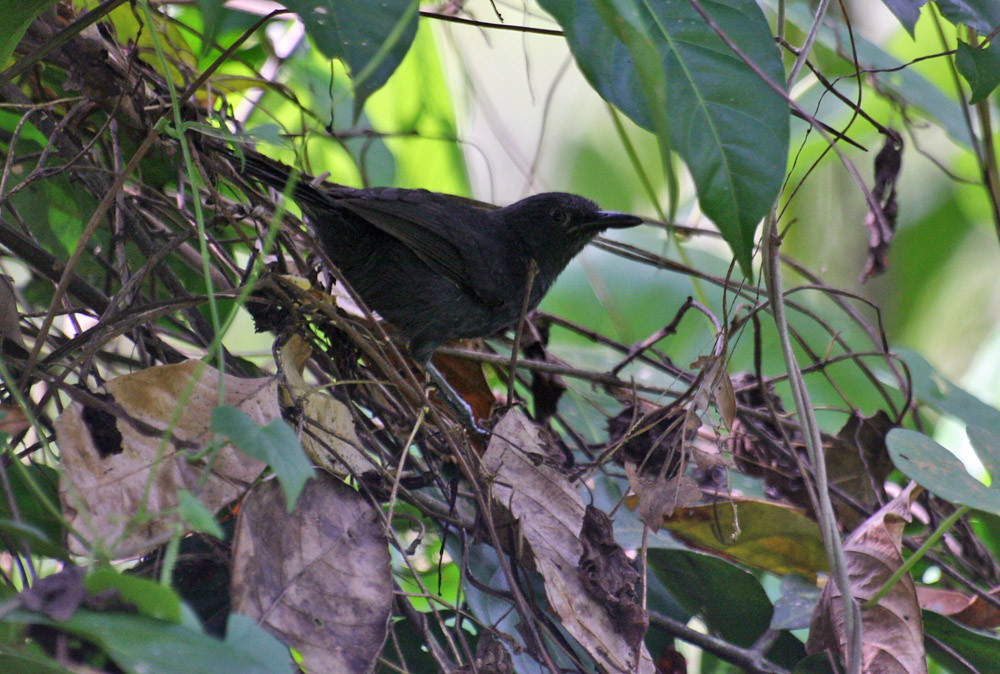 "Blackish Antbird ""Cercomacra nigrescens"""