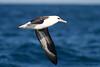 Laysan Albatross by shyalbatross232