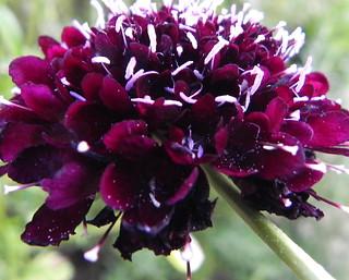 Pincushion flower (Scabiosa) | by Mickey JT
