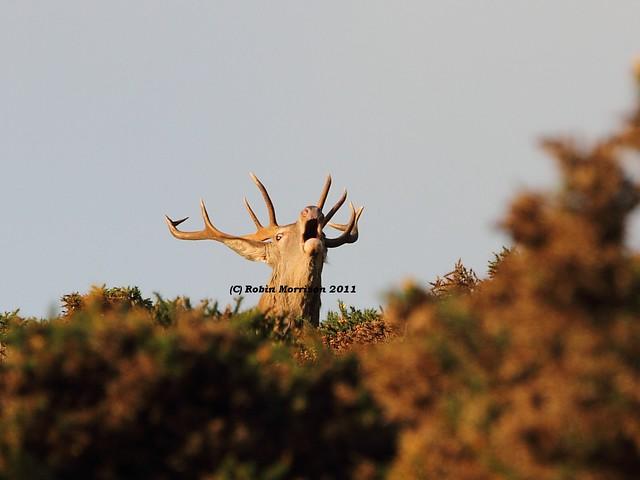 Red Deer Stag, Quantock Hills, Somerset