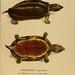 Species novae Testudinum quas in itinere annis 1817-1820