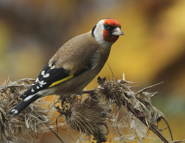 Goldfinch  (Carduelis carduelis) Other images below.