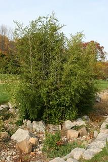 Bamboo At Presby Iris Garden
