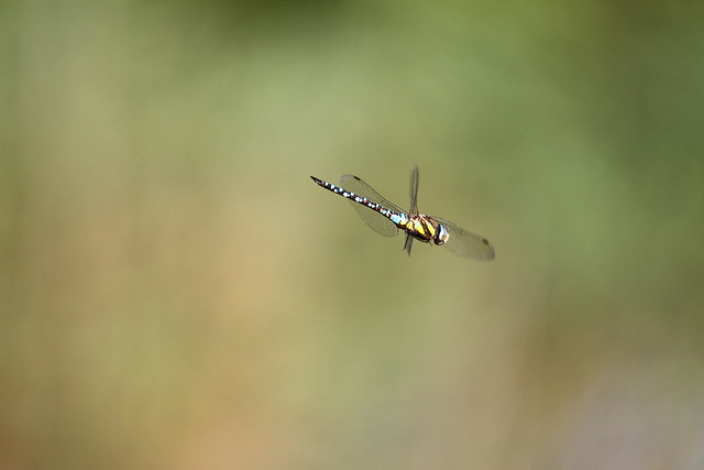 Dragonfly on the Somerset Levels