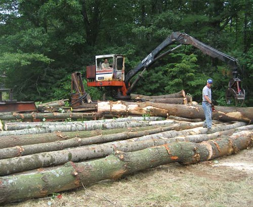 Bucking logs to length at the loading deck.