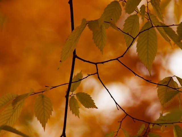 Zelkova Serrata. Fall colours. Gold, red, orange, brown, green, white, sky, black branches.