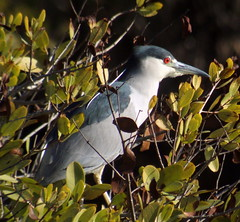 Black-crowned Night-Heron, Merritt Island NWR, FL