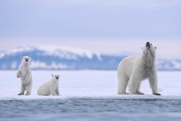 42-18010732 | Svalbard Archipelago, Norway --- Polar Bear Mo… | Flickr