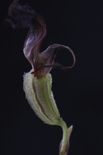 Trisetella cordiliae capsule