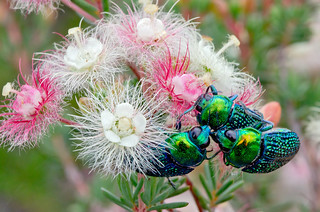 Jewel beetles | by jeans_Photos