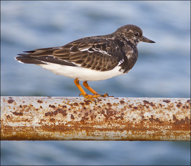 Is this a Turnstone?