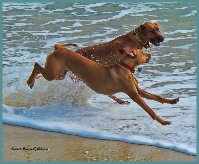 Tika and Gunny Romp in the Surf at Maverick's