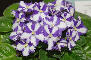 African Violet show | by Walrus36